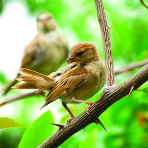 Seen here is the female House Sparrow. It is ash brown and white in colour, and measures the same size as the male. It is also found everywhere in the country. Photograph/Jaydeep Jadeja
