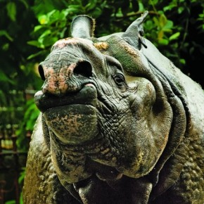 This rhinoceros was rather active and had gathered quite a crowd of onlookers. When the crowd started getting excited, the rhino stopped and tilted his head back, with a unique pout. Photograph/Raj Lalwani