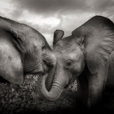 Body contact is important for growing elephants, as it gives them a sense of comfort and belonging. Photograph/ Joachim Schmeisser