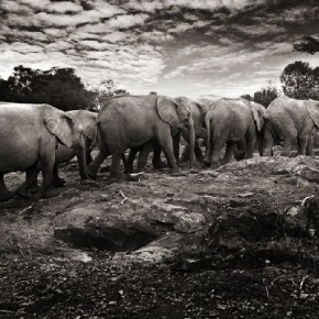These elephants form strong familial bonds, and often travel in herds. Here, they walk back to their nursery. Photograph/ Joachim Schmeisser