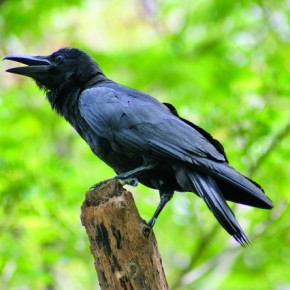 Jungle Crow is common bird found around human existence but it is different from house crow because of its glossy jet black colour. Photograph/Supriya Jhunjhunwala