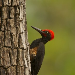 The dull tree bark and subdued green background make the reds on the crown of this bird seem all the more striking and dramatic. Photograph/Jayanth Sharma