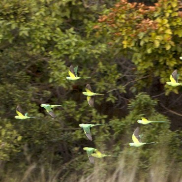"""Instead of only shooting exotic birds and animals, I prefer capturing even the most common of species in the rarest of moments. In this photograph of rose ringed parakeets, I had to respond quickly to their quick flight, so that I could freeze their motion."" Photograph/Jitendar Chadda"