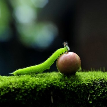 """I was in my backyard, photographing what I could see. After a while, I spotted this small green creature walking over a fruit. And so, I used a macro lens to capture the determination of the little guy."" Photograph/Sharon Shyam"