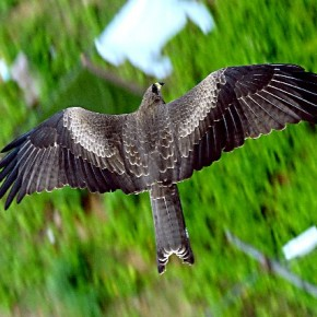 """""""While on the terrace, I spotted an eagle flying closeby. I wanted to capture an aerial view of this bird soaring. The first few photos were not perfect and the eagle disappeared for several minutes. Luckily, it came back and I was able to shoot the frame that I wanted."""" Photograph/Suman Reddy"""