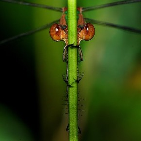 """""""While shooting this Emerald Spreadwing Damselfly, it was not easy to get a sharp symmetrical shot in extreme windy conditions."""" Photograph/Vipin Baliga"""