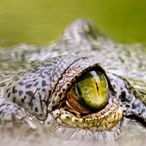 """""""During a trip to the Jim Corbett National Park, Uttarakhand, the light on the eye of this crocodile looked amazing. All I could think of was to capture its brilliance."""" Photograph/Nachiketa Bajaj"""