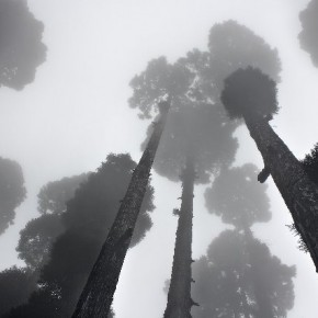 """""""One early morning near Shanti Stupa, Darjeeling, I found a few trees looming overhead and fading away in the cold mist. I selected an angle that helped me portray the height of the trees."""" Photograph/Nilesh J Bhange"""