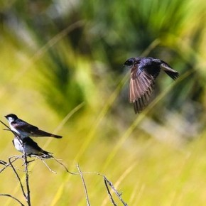 White-throated Swallows Okavango Delta, Botswana These white-throated swallows go through their entire life without ever sitting on the ground, because they would lack momentum to take‑off again. Photograph/ Sundeep Kumar