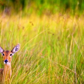 Reedbuck Okavango Delta, Botswana This unusual composition, whereby this young Reedbuck is isolated in the grass and much of its body is cropped, serves to emphasise its most remarkable feature— the ears. Photograph/ Sundeep Kumar