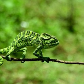 """""""Muthanga Wildlife Sanctuary in Kerala can be a great location to find some unique wildlife. Chameleons are champions at camouflage and I managed to photograph one crossing a branch to get to the other side."""" Photograph/Shameer Ummer"""