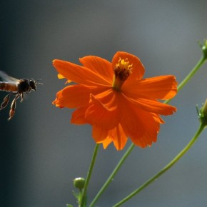 """""""Photographing insects in flight is quite a challenge and requires patience. I waited for several minutes before I found this bee hovering near a flower. My patience certainly worked out for the best!"""" Photograph/Swaroop Nalloor"""
