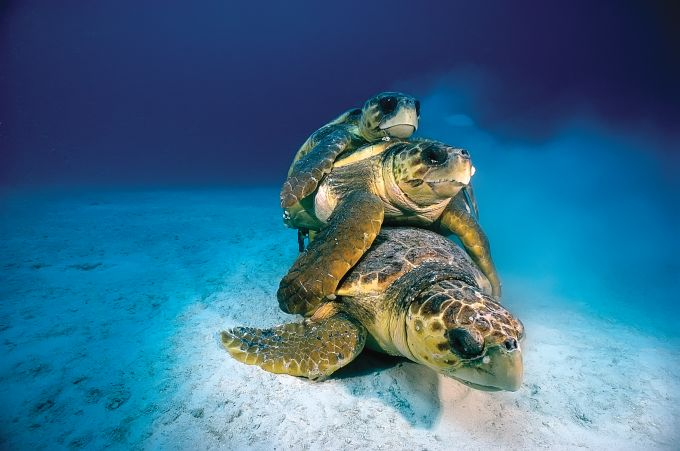 Loggerhead Turtles mating, Florida, USA: David has shot some extraordinarily fascinating subjects with compassion, concern, and often, a sense of humour. Photograph/ David Doubilet-ftp