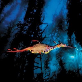 Weedy Sea Dragon, Tasmania, Australia: His photographs combine the drama and character of unique creatures in a beautiful world of light and colour. Photograph/ David Doubilet