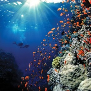 Divers sw im amids t orange anthias and coral, Red Sea: David has always found it interesting to capture other humans interacting with the oceans. Photograph/ David Doubilet