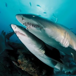 Ragg ed Tooth Shark, Al iwal, South Africa: His underwater imagery makes it seem as if the oceans accept him as one of their own. Photograph/ David Doubilet