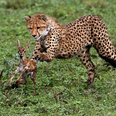 A baby cheetah hunts in the Serengeti Park in Tanzania. Photograph/Barun K Sinha
