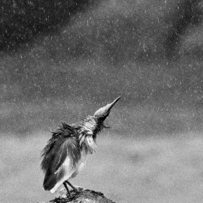 """""""A lone pond heron was perched on a rock, drenched in the rain, when I decided to photograph it. Suddenly, it shook water from its feathers and I happened to be ready with my camera. Shooting in black and white made the rain look more prominent and appealing."""" Photograph/Saurav Mahanta"""