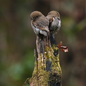 """""""Two owlets were perched on an old tree, cuddling each other on a chilly winter morning. Watching them sharing this sweet moment sparked my emotions as a photographer, and I decided to capture this moment."""" Photograph/Uday Krishna Peddireddi"""