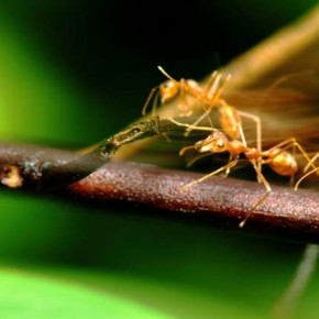 Flash adds some much needed definition to the scurrying ants, which complements the blur caused by their motion. Photograph/Shridhar Kunte