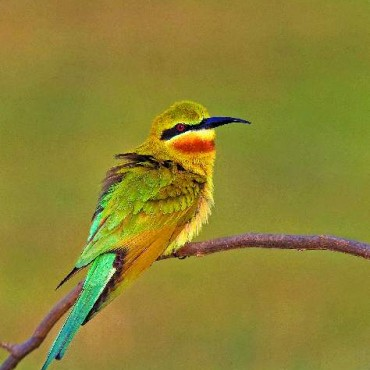 This photograph of a Blue Tailed Bee Eater won Akshay this award at such a young age. Photograph/Akshay Harith