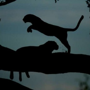 Silhouettes need not be shot only at dawn or dusk. This mid-afternoon photograph combines an element of intrigue with an alternate way of seeing wildlife. Photograph/Jayanth Sharma