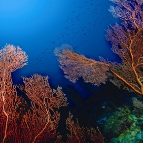 These spectacular Fan Corals are found at a depth of 40 metres onwards. This one was seen in the east channel of Kadmat Island, where one can find a whole forest of Fan Corals. Photograph/Sumer Verma