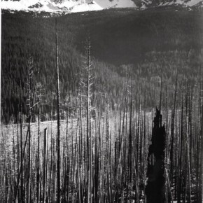 Burned area, Glacier National Park, pine trees, snow covered mountains in background. Photograph/Ansel Adams