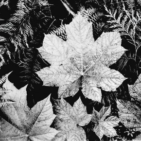 Close up of leaves, Glacier National Park, from directly above. Photograph/Ansel Adams