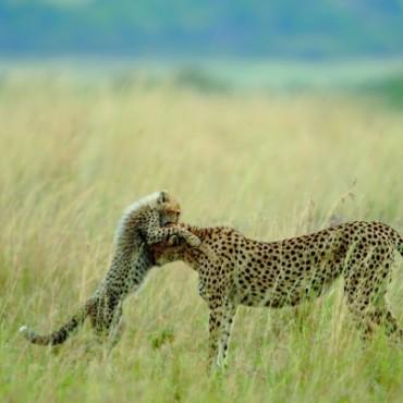 Sanjeev Bhor's award-winning image, Tender Moments, captures a beautiful moment between a cheetah and her cub. Photograph/Sanjeev Bhor