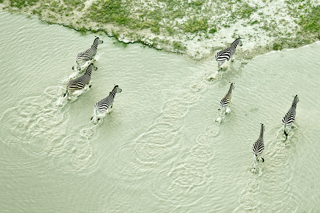 The pilot and I followed these zebras intently as they explored the salt pans. I was attracted to the delicate juxtaposition between the animals' stripes and the surrounding landscape. Photograph/Zack Seckler