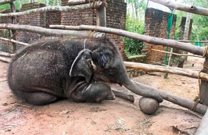 Baby elephants require a lot of love and affection. Anand taught many calfs to play football, so that they would keep themselves occupied..