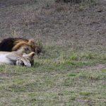 Let sleeping Lions lie. Photograph/Sakshi Parikh