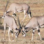 Teritorrial Antelopes at Samburu. Photograph/Sakshi Parikh