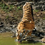 A tiger drinking water from a stream on an extremely hot day.