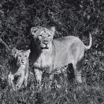 An Asiatic lioness with her cub.