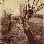 Willows, La Varenne.